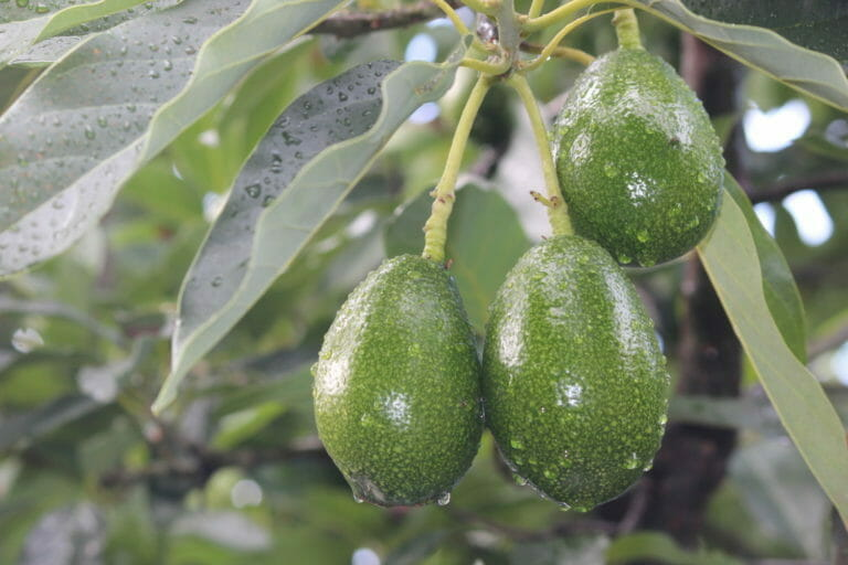 Avocados at the Sleeping Lady Private Retreat - Porongurup
